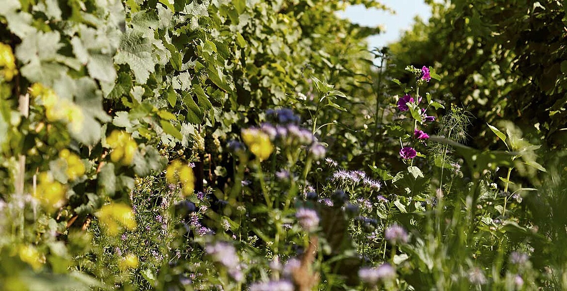 Wild flowers amongst the vines in the vineyards of Peter Jakob Kühn