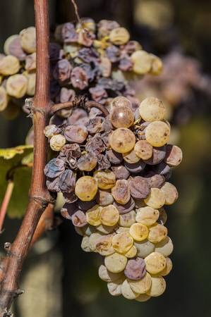 Grapes effected by Botrytis Cinerea