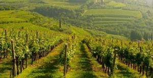 The vineyards at Tenuta Sant'Antonio