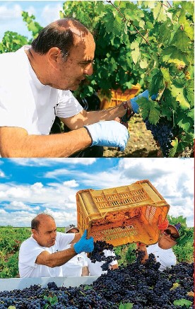 Bruno Vespa working in the vineyards of his winery