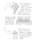 Illustration of the wine making process for Amarone and Ripasso