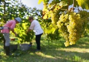Grape pickers harvesting in the vineyards of Vini La Delizia